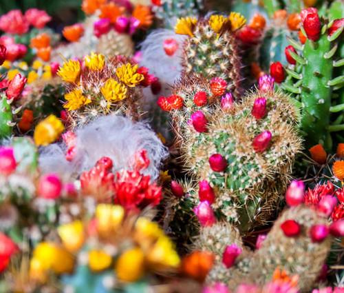Cactus Mix Cacti Seeds