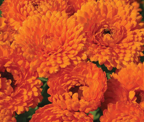 Calendula Geisha Girl Calendula Officinalis Seeds