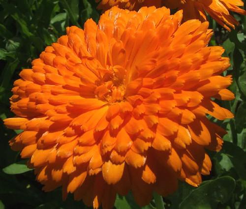 Calendula Orange King Calendula Officinalis Seeds