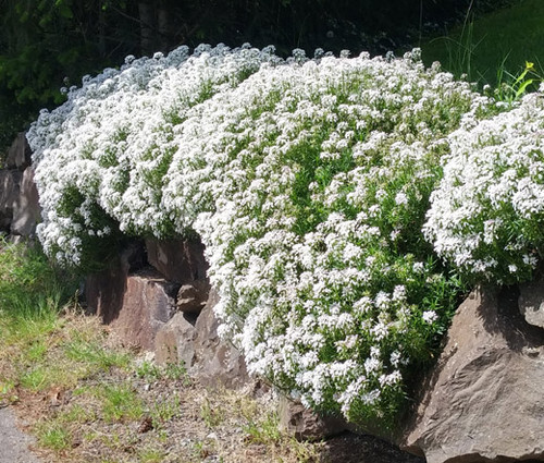 Candytuft Perennial Evergreen White Iberis Sempervirens Seeds  2
