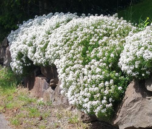 Candytuft Perennial Evergreen White Iberis Sempervirens Seeds  2