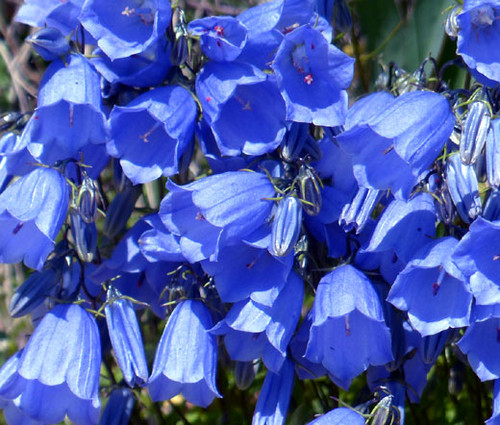 Canterbury Bells Blue Campanula Medium Seeds