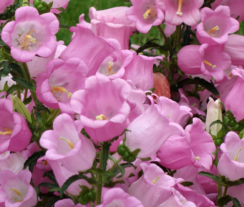 Canterbury Bells Pink Campanula Medium Seeds