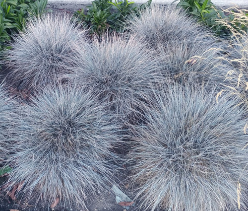Blue Fescue Festuca Glauca Seeds