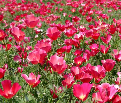 California Poppy Carmine Eschscholzia Californica Seeds