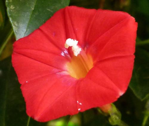 Cardinal Climber Ipomoea x Multifida Seeds 2