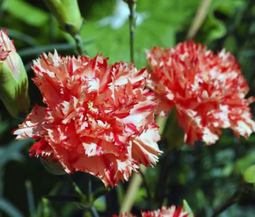 Carnation Chabaud Avranchin Dianthus Caryophyllus Seeds
