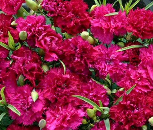 Carnation Chabaud Magenta Dianthus Caryophyllus Seeds