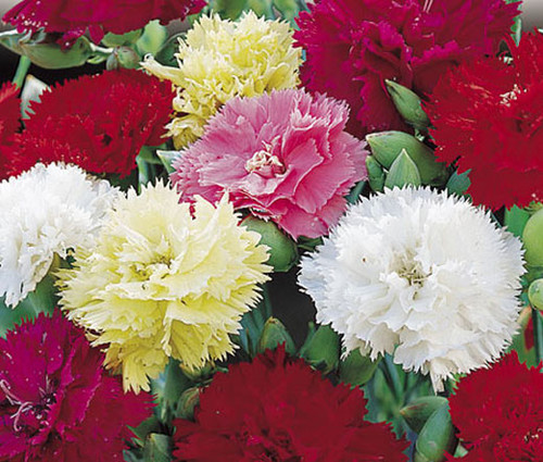Carnation Chabaud Mix Dianthus Caryophyllus Seeds