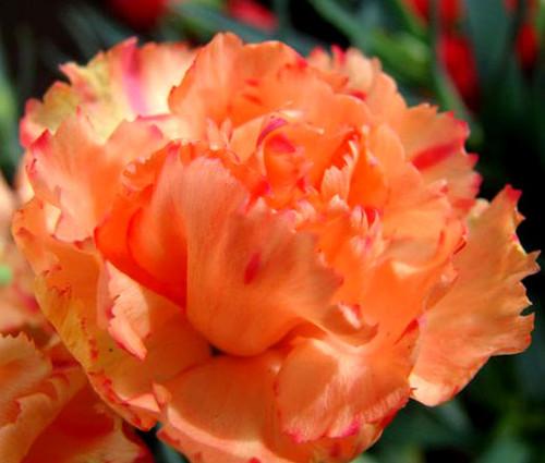 Carnation Chabaud Orange Dianthus Caryophyllus Seeds