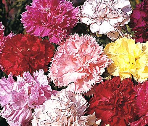 Carnation Chabaud Picotee Mix Dianthus Caryophyllus Seeds