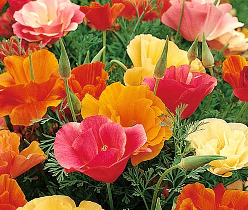 California Poppy Mission Bell Eschscholzia Californica Seeds