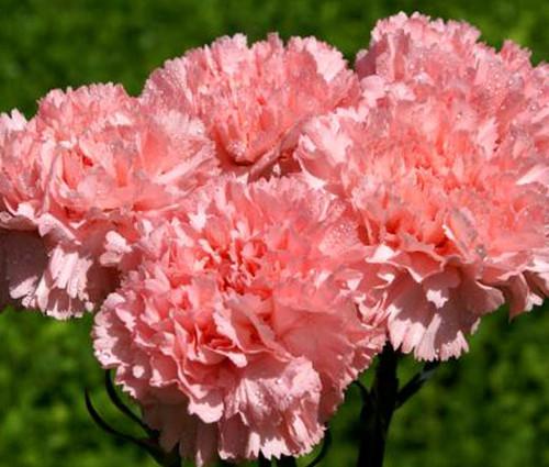 Carnation Grenadin Rose Dianthus Caryophyllus Seeds