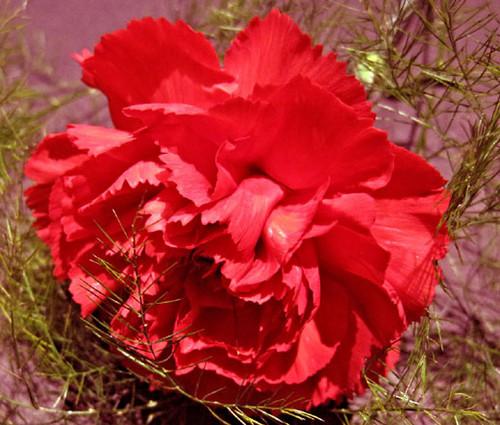 Carnation Grenadin Scarlet Dianthus Caryophyllus Seeds