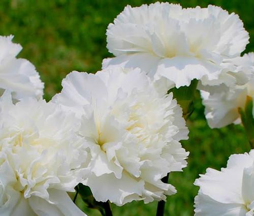 Carnation Grenadin White Dianthus Caryophyllus Seeds