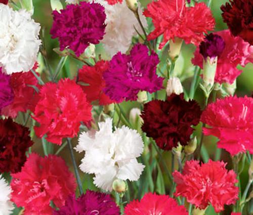 Carnation Mix Dianthus Caryophyllus Seeds
