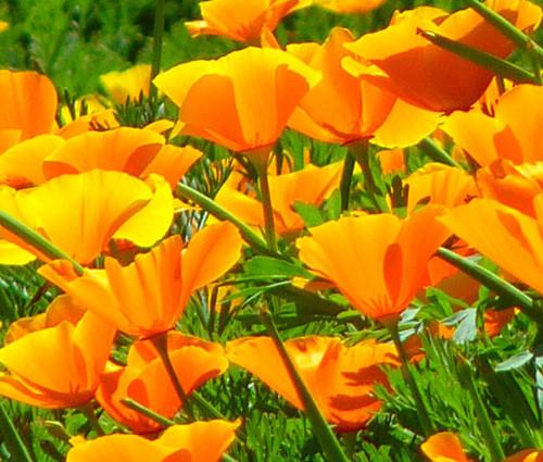 California Poppy Orange Eschscholzia Californica Seeds