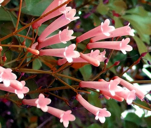 Cigar Plant Rose Cuphea Ignea Coan Seeds