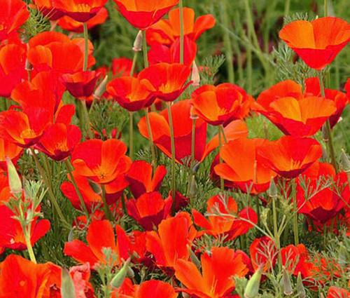 California Poppy Red Chief Eschscholzia Californica Seeds