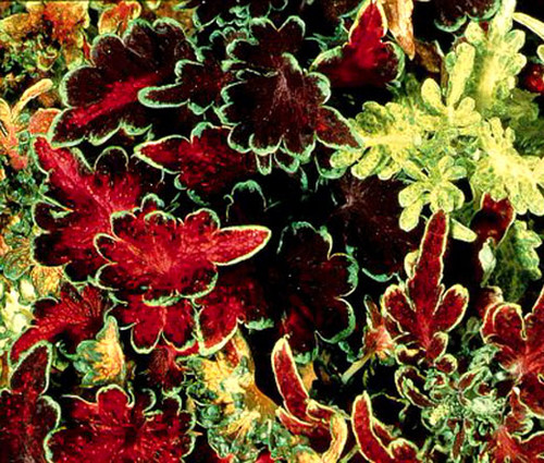 Coleus Carefree Mix Solenostemon Scutellarioides Seeds