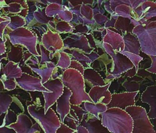 Coleus Chocolate Mint Solenostemon Scutellarioides Seeds