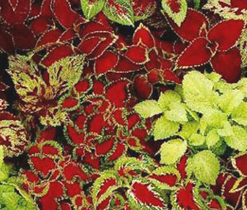 Coleus Fairway Mix Solenostemon Scutellarioides Seeds