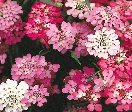 Candytuft Dwarf Iberis Umbellata Seeds