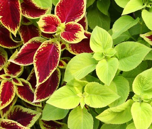 Coleus Under The Sun Fuseables Solenostemon Scutellarioides Seeds