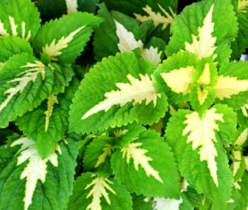 Coleus Versa Green Halo Solenostemon Scutellarioides Seeds