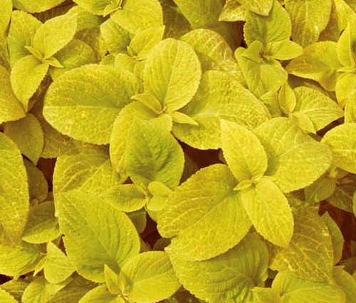 Coleus Wizard Golden Solenostemon Scutellarioides Seeds
