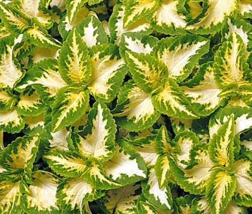 Coleus Wizard Jade Solenostemon Scutellarioides Seeds