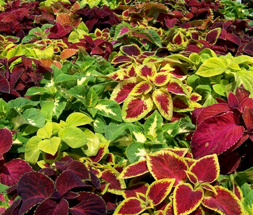 Coleus Wizard Mix Solenostemon Scutellarioides Seeds