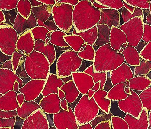 Coleus Wizard Scarlet Solenostemon Scutellarioides Seeds