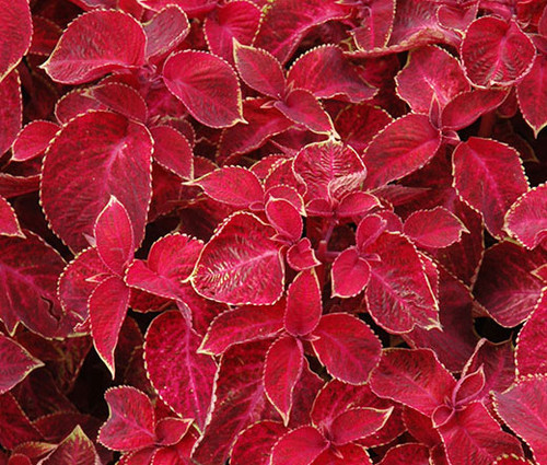 Coleus Wizard Velvet Red Solenostemon Scutellarioides Seeds