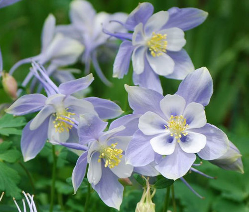 Columbine Blue Dream Aquilegia Caerulea Seeds