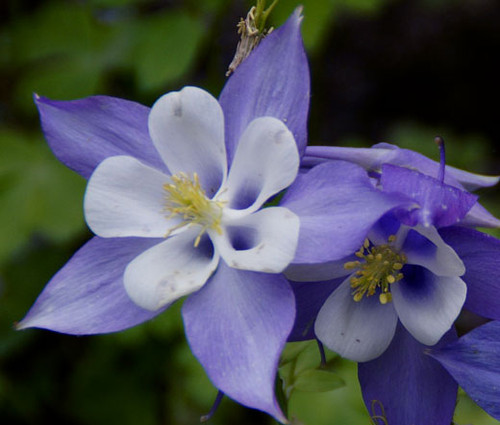 Columbine Blue Star Aquilegia Caerulea Seeds
