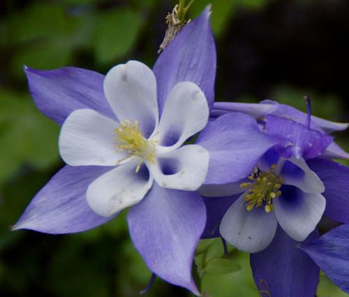 Columbine Blue Star Aquilegia Caerulea Seeds