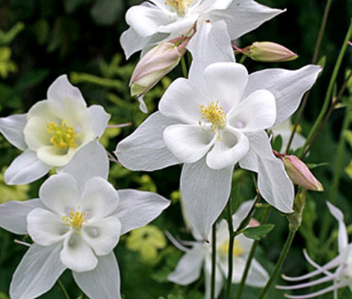 Columbine Crystal Star Aquilegia Caerulea Seeds