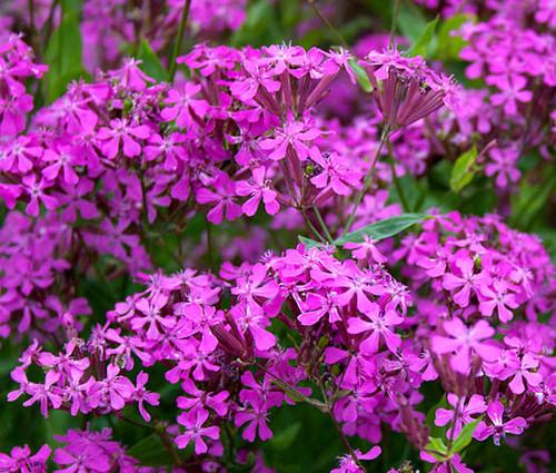 Catchfly None-so-Pretty Silene Armeria Seeds