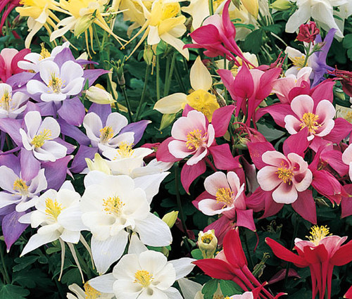 Columbine Mix Aquilegia Caerulea Seeds