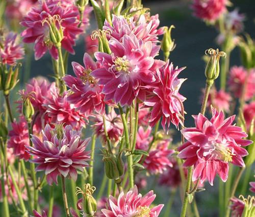Columbine Nora Barlow Pink Aquilegia Vulgaris Seeds