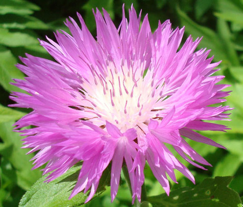 Cornflower Persian Centaurea Dealbata Seeds