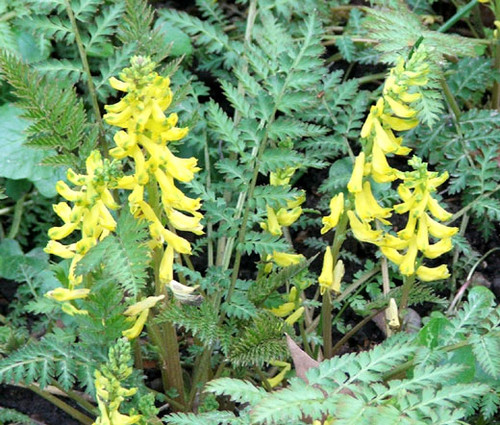 Corydalis Ferny Corydalis Cheilanthifolia Seeds