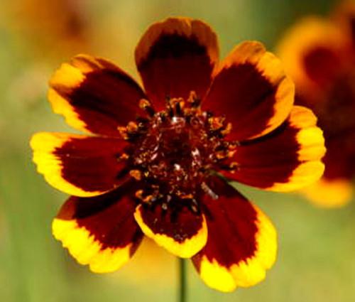 Cosmidium Brunette Cosmidium Burridgeanum Seeds