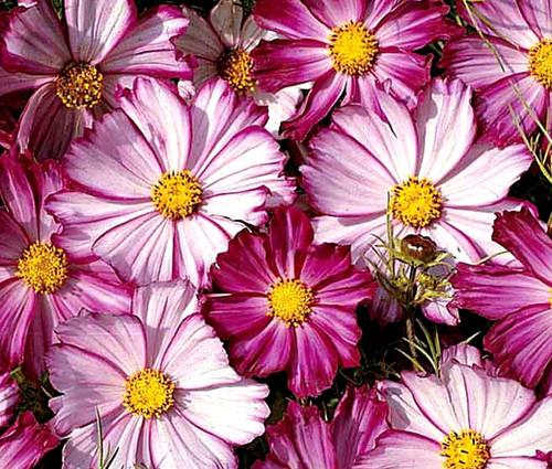 Cosmos Picotee Cosmos Bipinnatus Seeds