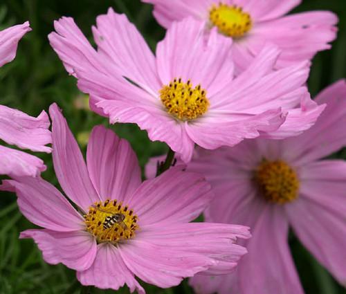 Cosmos Pinkie Cosmos Bipinnatus Seeds