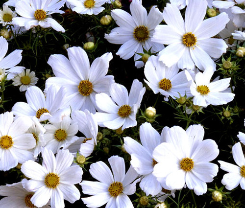 Cosmos Purity Cosmos Bipinnatus Seeds