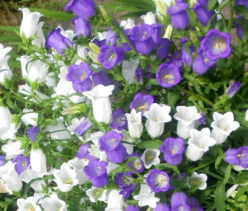 Canterbury Bells Cup and Saucer Mix Campanula Medium Seeds