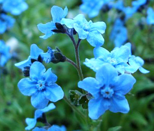 Forget Me Not Chinese Cynoglossum Amabile Seeds