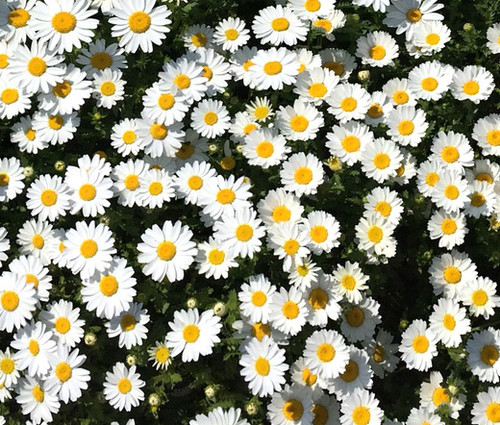 Creeping Daisy Chrysanthemum Paludosum Seeds